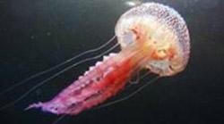 foto di medusa