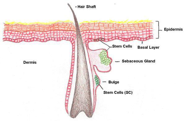 ulcere e cellule staminali