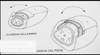 schema anatomico unghia