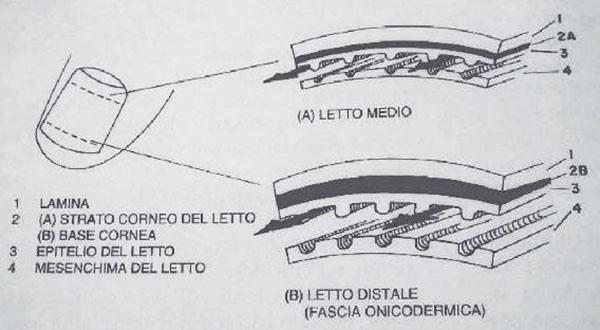 anatomia unghia schema